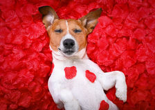 Dog love rose valentines Stock Image