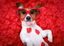 Dog love rose valentines stock photos