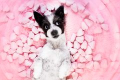 Dog love rose valentines royalty free stock photos