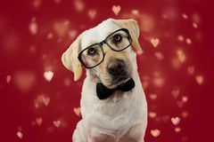 DOG LOVE VALENTINE DAYS. CUTE LABRADOR WEARING GLASSES AND BLACK NECK TIE. ISOLATED SHOT AGAINT RED BACKGROUND WITH DEFOCUSED royalty free stock photo