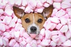 Dog love valentines Stock Photos