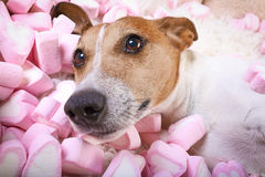 Dog love  valentines Royalty Free Stock Photo