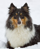 Dog loves the snow Royalty Free Stock Photo