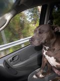 This dog loves to ride. Gracie our pitbull loves to ride in the car Royalty Free Stock Photos
