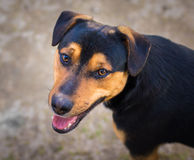 Dog with loving look. Royalty Free Stock Photo