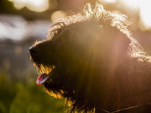 Dog loving sun. Dog is sitting in the sunset Royalty Free Stock Image