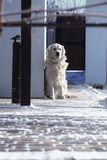 Golden retriever waiting for the owner. royalty free stock image