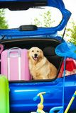 Dog and luggage in the trunk. Close shoot of a car with retriever dog waiting in the trunk with bags for trip, trickle, ball, scoop-net Royalty Free Stock Photos