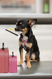 Dog with luggage waiting Royalty Free Stock Photography