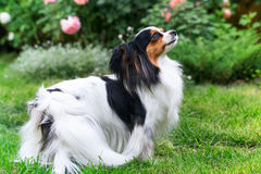 A dog with a luxurious tail Royalty Free Stock Image