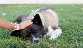 Dog lying. In the grass Royalty Free Stock Photos