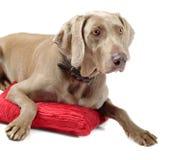 Dog lying Stock Image