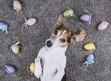 Dog lying back on gray carpet with Easter painted eggs. Adorable jack russell dog lying back on gray carpet with Easter painted eggs looking at camera Pet take stock images