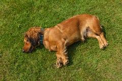 Mixed spaniel dogs spaniel Stock Photos