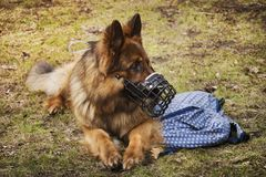 The dog is lying with the bag nearby. The dog is supposed to protect the owner`s bag. stock image