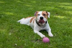 Dog is lying with ball in green grass yard. stock photos