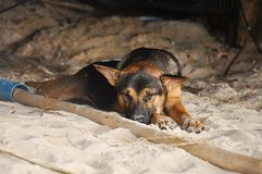 Dog lying. On the beach Stock Images