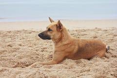 Dog lying on the beach Stock Image