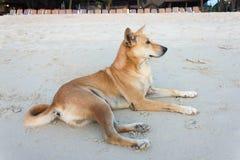 Dog lying on the beach Royalty Free Stock Photo