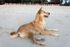 Dog lying on the beach Royalty Free Stock Image