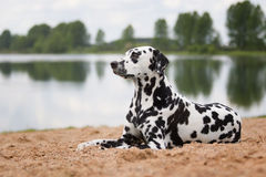 Dog lying on the beach or the river. Cute dog lying on the beach or the river Stock Image