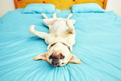 Dog is lying on the bed Royalty Free Stock Photography