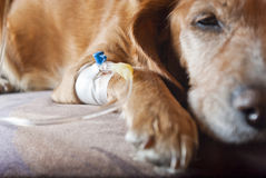 Dog lying on bed with cannula in vein Royalty Free Stock Photos