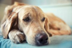 Dog lying on the bed Stock Photos