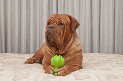 Dog is lying on bed holding a toy with paws Stock Image