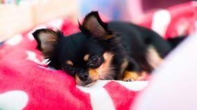 Dog lying on bed Royalty Free Stock Photo