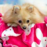 Dog lying on bed Stock Image