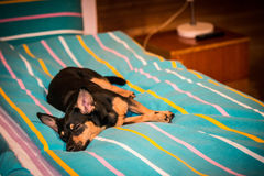 Dog lying on a bed Royalty Free Stock Photos