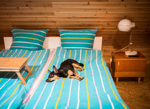Dog lying on a bed Royalty Free Stock Photo