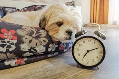 Dog lying in bed turning off an alarm clock Royalty Free Stock Images