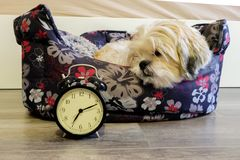 Dog lying in bed turning off an alarm clock Stock Photography