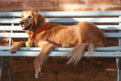 Dog lying in the blue bench Stock Photo