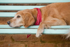 Dog lying in the blue bench Stock Images