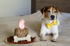 Jack russell terrier Dog lying with cake on his sixth birthday. Pet's treats. Royalty Free Stock Image