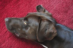 Dog is lying on a carpet Royalty Free Stock Photo