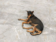 Dog lying Royalty Free Stock Image