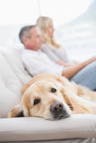 Dog lying on the couch with the couple sitting behind Stock Photography