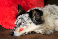 Dog lying on couch with kiss. Border collie Australian shepherd dog lying on couch with red valentine's day heart love pillow and red lipstick kiss on cheek stock photos