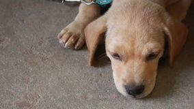 Dog Lying stock footage