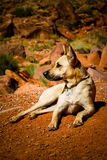 Dog lying in desert. A view of a large dog resting but alert as it lays on the ground in the desert Stock Image