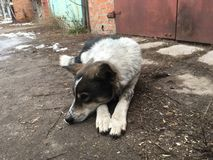 Dog lying on the dirty street. Stray mixed breed dog lying on the dirty street Stock Photos