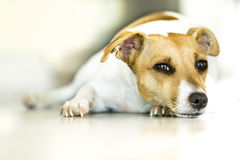 Dog lying dog - jack russel. Sweet dog look lying on the ground for too hot - dog with brown and white muzzle Stock Photography