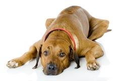 Dog Lying Down Stock Photo