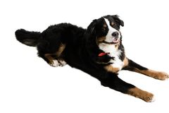 A dog lying down. On a white background Royalty Free Stock Images