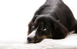 Dog - Lying Down Stock Image