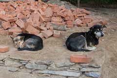 Dog lying down with alert expression and other dog sleeping contentedly. Medium-sized mixed-breed street dog lying down with alert expression and other dog royalty free stock photos